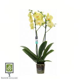 Орхидея Фалинопсис (Phalaenopsis Volterra Lichtgeel)